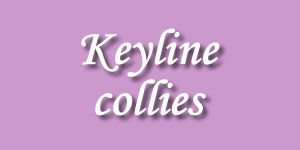 allevamento collies keyline